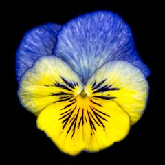 Lilac-Hollyglimmer-121517-1768