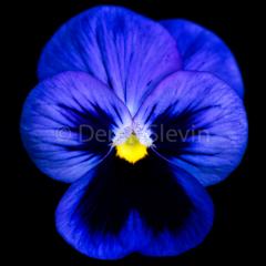 Violet-Lotuslocks-112717-1470