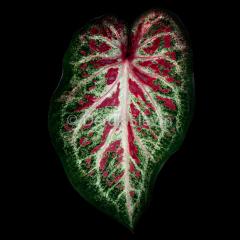 Leaf-1-Ruby-052618-4781