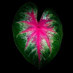 Leaf-4-Eve-060118-5580